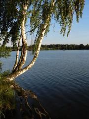 Szałe 3: Birch. Water reservoir in Szałe by Kalisz, Poland. Called also 'Jezioro (Lake) Pokrzywnickie'. Taken by WR in June 2017. (kachigarasu) Tags: poland landscape ポーランド ヨーロッパ 風景 szałe シャウェ kalisz カリシュ wielkopolska ヴィエルコポルスカ lake 湖 人工湖 water reservoir 貯水湖 貯水 人造湖 貯水池 jezioro pokrzywnickie birch reflection 反映 boat boats ボート 午後 afternoon