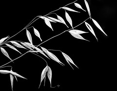 TinyVisit.jpg (Klaus Ressmann) Tags: klaus ressmann omd em1 grass nature summer blackandwhite contrast design flcnat insect macrophotography minimal stem klausressmann omdem1