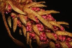 Noahdendron nicholasii (andreas lambrianides) Tags: noahdendronnicholasii hamamelidaceae noahdendron australianflora australiannativeplants australianrainforests australianrainforestplants australianrainforestflowers arfflowers arfp qldrfp lowlandarf