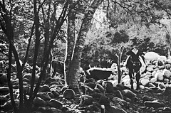 Vaca Coloreada (Elesbaan Castro) Tags: vaca bw rancho ranch nikonfg elesbaan castro film 35mm nikkor cow ilovefilm naturale nature countryside blancoynegro fuji 100acros piedras stons sunset atardecer