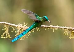 IMG_6913 Long-tailed Sylph (suebmtl) Tags: bird birding hummingbird ecuador sanisidro napoprovince