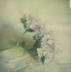 la phacélie (l'imagerie poétique) Tags: limageriepoétique poeticimagery polaroidsx70 impossibleprojectpolavoid wildflower goldenhour delicate pretty tendre