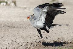 Muddy feet!  Secretary Bird-7675 (Sagittarius serpentarius) (dennis.zaebst) Tags: africa namibia secretarybird bird animal etosha outdoor wild naturethroughthelens naturesspirit
