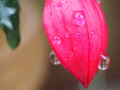 Waterdroplets (Gsc63) Tags: macroolympusepl7 waterdropsoutdoorplanttreefoliageleafflower waterdroplet macro olympusepl7 waterdrops outdoor plant tree foliage leaf flower