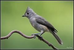 Tufted Titmouse (GaryT48) Tags: tiogacounty pennsylvania bird wildlife tuftedtitmouse baeolophusbicolor