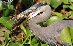 Catch you on the flip side (Shannon Rose O'Shea) Tags: shannonroseoshea shannonosheawildlifephotography shannonoshea shannon greatblueheron heron bird beak tongue blue yelloweye feathers green leaves circlebbarreserve lakeland florida flickr wwwflickrcomphotosshannonroseoshea nature wildlife waterfowl outdoors outdoor fauna ardeaherodias catfish fish fishing catchoftheday catch canon canoneos80d canon80d eos80d 80d canon100400mm14556lisiiusm whiskers fisheye flip flipside