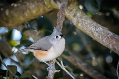 Backyard Tufted Titmouse 12-22-2016 (5 of 6) (Jerry's Wild Life) Tags: backyardtitmouse songbird songbirds tuti titmouse tufted tuftedtitmouse backyard backyardtuftedtitmouse
