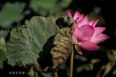 D66_9994 (brook1979) Tags: 台北市 植物園 荷 蓮 荷花 蓮花 葉 花 lotus flower