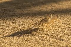Granchio della sabbia. Crab's sand. (omar.flumignan) Tags: crab crabssand granchio ngc allnaturesparadise