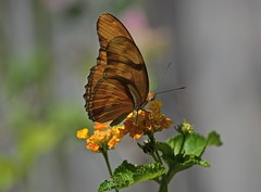 When The Sun Came Out (ACEZandEIGHTZ) Tags: orange julia iulia lepidoptera nikon d3200 nature lantana bokeh saariysqualitypictures dryas brushroot