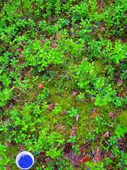 Blueberry (elinapoisa) Tags: blueberry forest woods latvia