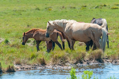 07082017-268-1 (bjf41) Tags: chincoteague horses wild herd colts
