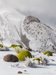 Yaretas en la nieve (Andres Puiggros) Tags: d500 arica chile landscape nature nieve nikon snow travel yareta flora taapaca