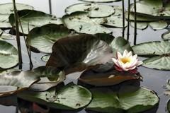 *** (pszcz9) Tags: przyroda nature natura kwiat flower woda water staw pond beautifulearth sony a77 ogródbotaniczny botanicgarden liść leaf