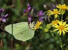 Zitronenfalter (Gonepteryx rhamni) (Hugo von Schreck) Tags: zitronenfalter gonepteryxrhamni hugovonschreck butterfly schmetterling falter macro makro insect insekt canoneos5dsr tamron28300mmf3563divcpzda010 onlythebestofnature