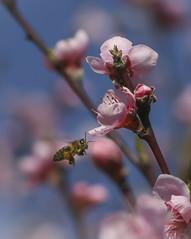 Cazada al vuelo. Hunted on the fly. (Capuchinox) Tags: abeja insecto flor macro canon naturaleza almendro bee insect flores nature almond fly vuelo blue pink azul rosa floracion macrofotografia arbol planta