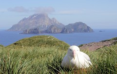 Willis wanderer (jamesrrobbins) Tags: albatross bird island antarctic seabird