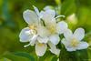 Falscher Jasmin (Bumbus) Tags: excellentsflowers topshots magicmomentsinyourlife photosandcalendar photothebestofmimamorsgroups