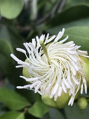 White pinwheel on morning walk (jungle mama) Tags: pinwheel white swirl caper walk unfurl capparis cynophallacapparisflexuosa
