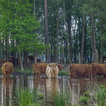 Highland cattle in low water thumbnail