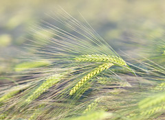 LemonBarley (Sarah_Brooks) Tags: barley green spring summer crops landscape study abstract barleyear ears whiskers