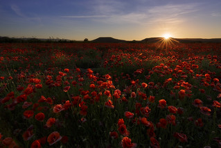 The sun falls on the poppies