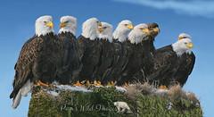 Odd Ball (PamsWildImages) Tags: bc canada pammullinspamswildimages eagles raptor bird nature wildlife nine group gathering