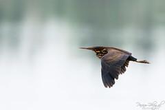 Black Bittern in Flight (PB2_1816) (Param-Roving-Photog) Tags: black bittern flying flight bird water lake wildlife wetland ropar ramsar punjab wildlifephotography birding nikon tamron indianwildlife