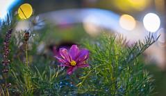 DSCF5267 (::Lens a Lot::) Tags: fujinon ebc 55mm ƒ18 70s | 6 blades m42 f18 paris 2017 flower bokeh depth field color yellow green white vintage manual japanese prime lens extérieur profondeur de champ fleur plante brillant effet dof drop water night light fujifilm xt20 macro