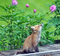 DSC_0723 (rachidH) Tags: fox renard vulpes foxcub renardeau redfox renardroux vulpesvulpes backyard frontyard wildlife sparta newjersey nj rachidh nature