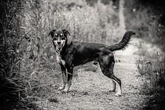 Good Boy (_John Hikins) Tags: lenny kelpie animal australiankelpie australian d5500 devon dog torbay torquay bw black blackandwhite blackwhite nikon nikkor 50mm 50mm18 pet woods monochrome