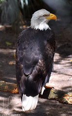 Bald Eagle (BMADHudson) Tags: baldeagle eagle feathers bird birdphotography buschwildliferescuecenter florida floridaphotography wildlife wildlifephotography jupiter southflorida south portrait