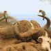 Barbets on Buffalo © Ron Belak - Fauna