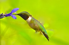 Hummingbird on Purple Salvia Amistad (deanrr) Tags: nature outdoor spring 2017 alabama morgancountyalabama salviaamistad salvia purple purpleflower greenbackground bird hummingbird hummingbirdonflower