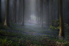 Purple Haze (Alec Lux) Tags: hdr hdrphotography belgium blue bluebells brakel brakelbos branches carpet flowers fog forest green landscape landscapephotography mist nature naturephotography spring sunlight trees woods vlaanderen be