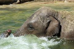 Play time (K.Verhulst) Tags: elephant elephants asiaticelephants aziatischeolifant emmen wildlandsadventurezoo wildlands nl