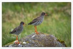 Couple de Gambettes. (C. OTTIE et J-Y KERMORVANT) Tags: nature oiseaux limicoles chevaliers chevaliersgambettes islande