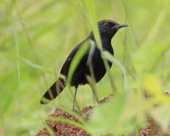 Indian Robin - Male