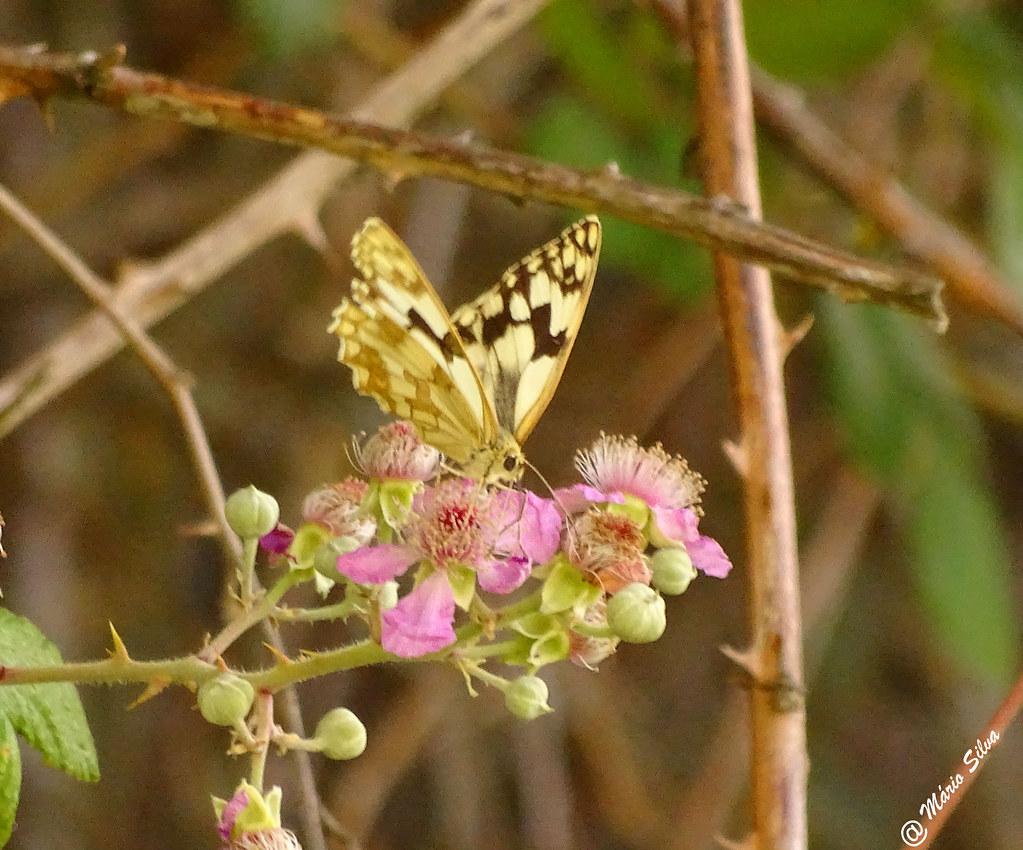 Águas Frias (Chaves) - ... a borboleta e as flores ...