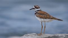 Killdeer (Charadrius vociferus) (ER Post) Tags: bird killdeercharadriusvociferus shorebird plover muskegon michigan unitedstates us