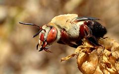 Red Eyed Digger Bee (Centris rhodopus) (J.Thomas.Barnes) Tags: bee california bug portrait bokeh digger