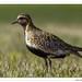 Pluvier doré (C. OTTIE et J-Y KERMORVANT) Tags: nature oiseaux pluvier pluvierdoré fjords fjordsdunordouest islande