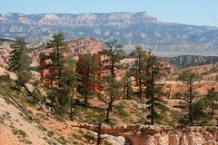 Pinus ponderosa, Bryce (brian dean bollman) Tags: garfieldcountyut brycecanyonnationalpark mudstone siltstone limestone pinaceae pinus pinusponderosa ponderosapine pinusponderosasspscopulorum