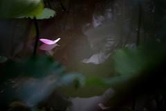 Lotus 荷 (MelindaChan ^..^) Tags: macau 澳門 lotus 荷花 荷 花 chanmelmel mel melinda water plant bokeh melindachan green leaf petal pink art