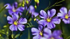 Two Among Many (Bob's Digital Eye) Tags: bobsdigitaleye canon canonefs55250mmf456isstm depthoffield flicker flickr t3i macro flower garden