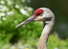 Sandhill Crane (careth@2012) Tags: nature wildlife waterfowl beak feathers portrait headshot crane sandhillcrane britishcolumbia