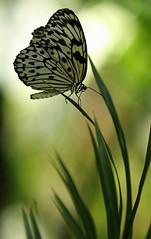 Butterfly Morning (bnbalance) Tags: beautifulbutterfly butterfly depthoffield macrobutterfly butterflybokeh bokeh