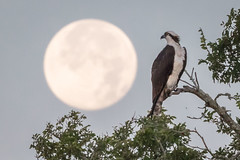 Close Encounter (gseloff) Tags: osprey bird wildlife fullmoon armandbayou pasadena texas dawn kayakphotography gseloff