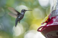 Hummingbird in TX (Mayra Galland) Tags: hummingbird birds animals nature feeders colors naturaleza colibri