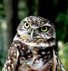 The burrowing owl (EcoSnake) Tags: burrowingowl owls birds wildlife july summer hot idahofishandgame naturecenter